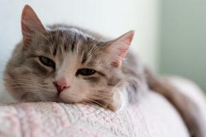 Comment enlever facilement et rapidement les poils de chat