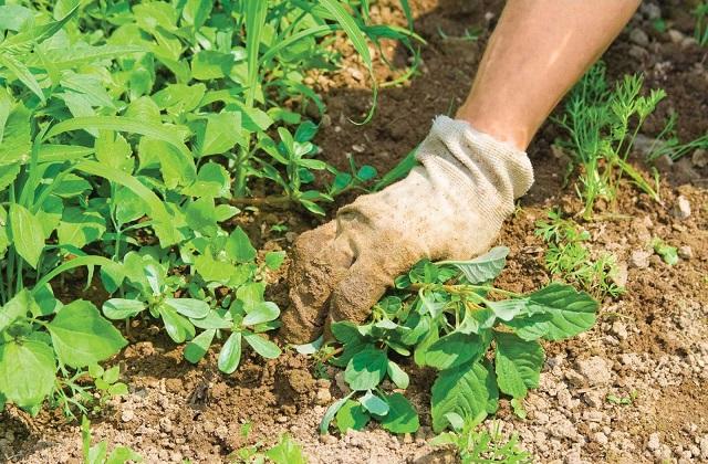 Comment arracher les mauvaises herbes