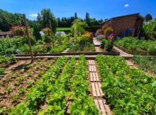 Juillet, le mois d'or pour le jardin potager : la récolte et de nouvelles semailles