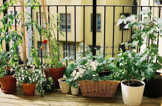 Comment faire pousser du romarin sur le balcon de la maison